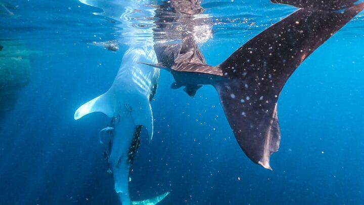 whale sharks, nabire, indonesia