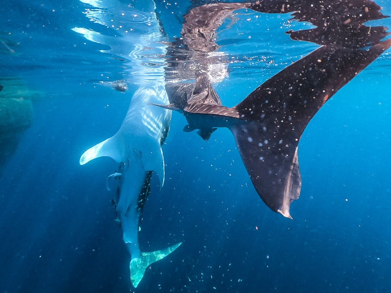 Travel Guide to whale sharks in west papua Indonesia