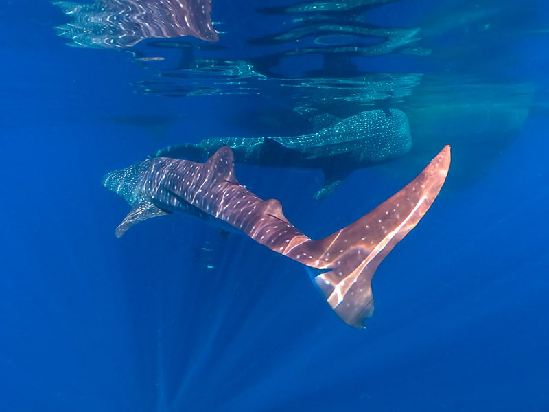 Two whale sharks in Indonesia