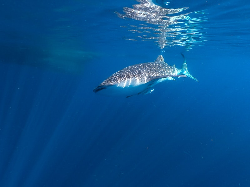 Whale shark in West Papua Indonesia