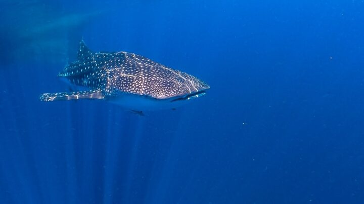 whale shark indonesia nabire