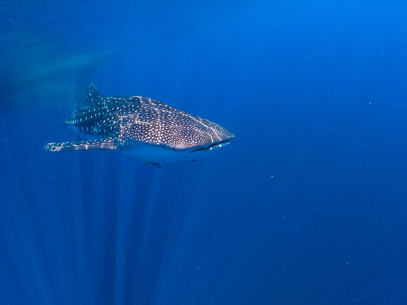 Whale shark guide in Indonesia