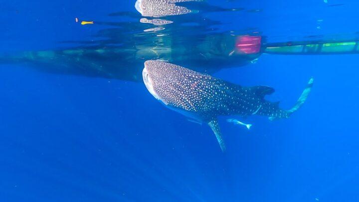 whale shark indonesia
