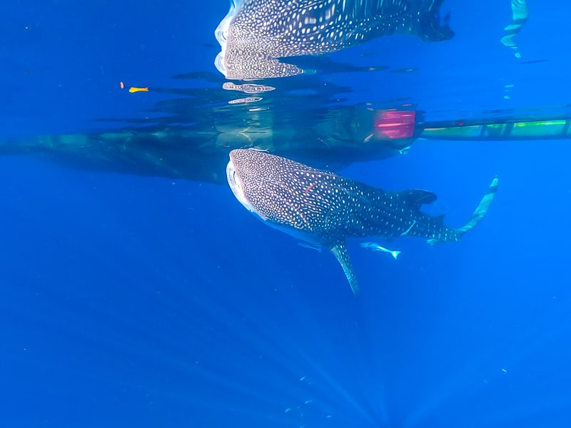 Nabire the perfect place to swim with whale sharks in Indonesia