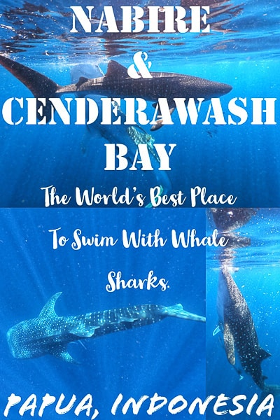 Complete Travel guide to swim with whale sharks in nabire, papua indonesia.