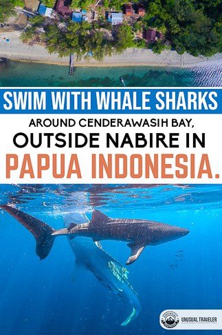 Everything you need to know to swim with whale sharks in nabire, papua indonesia.