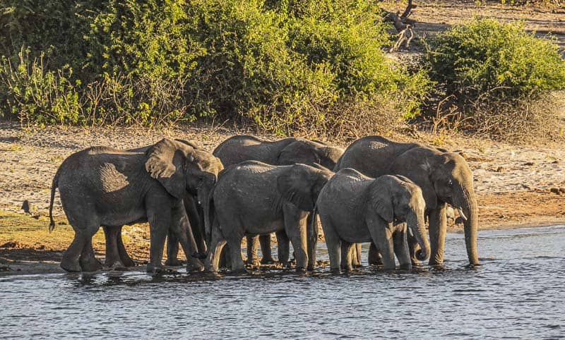 A Group of Elephants in Chobe national Park