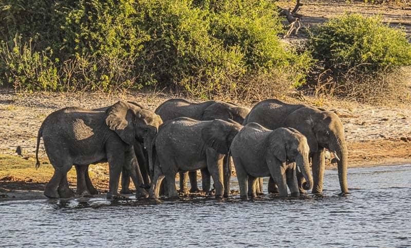 A Group of Elephants in Chobe national Park Botswana
