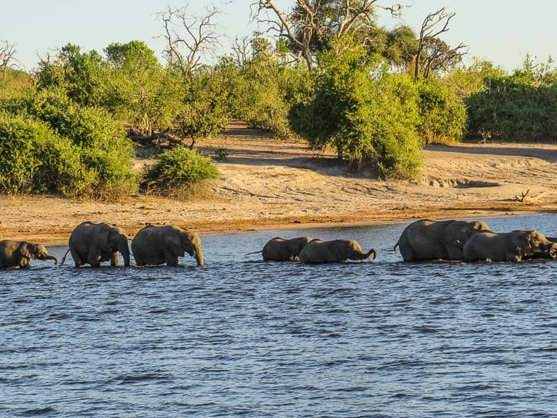 A group of elephants chobe national park Botswana