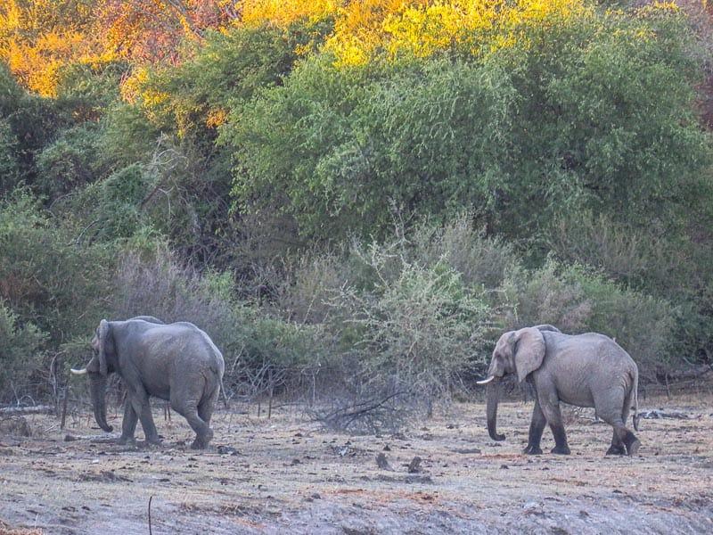 Wild Elephants in Botswana