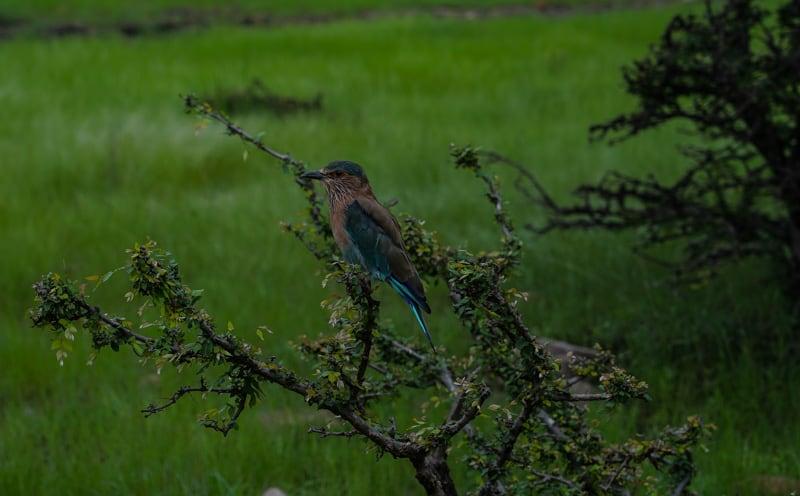 Kingfisher bird in India