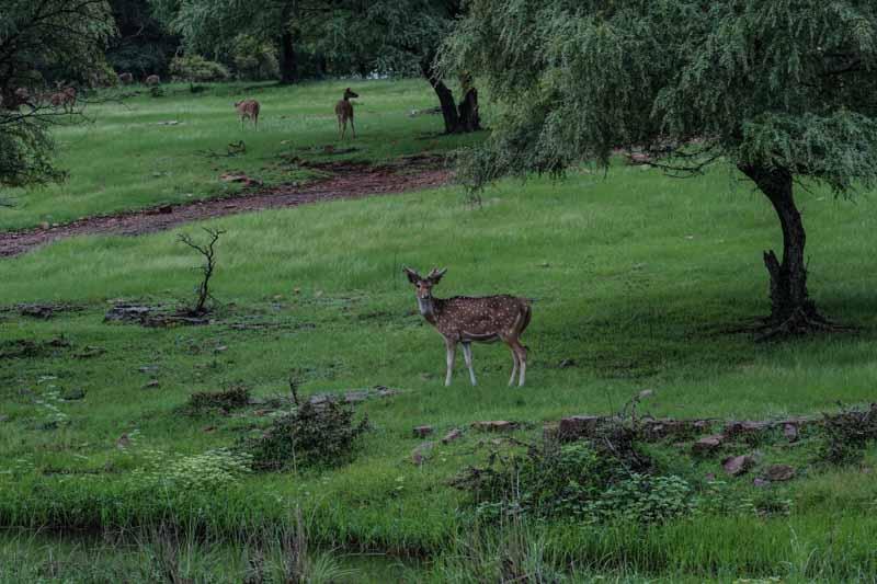 самбар парк Рантхамбор Национальный парк Рантхамбор Лучшее место, где можно увидеть тигров в Индии. DSC01548