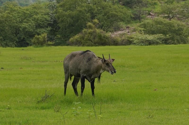 антилопа нильгау парк Рантхамбор Национальный парк Рантхамбор Лучшее место, где можно увидеть тигров в Индии. DSC01556 2