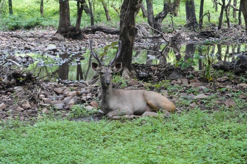 самбар парк Рантхамбор Национальный парк Рантхамбор Лучшее место, где можно увидеть тигров в Индии. DSC01605 2
