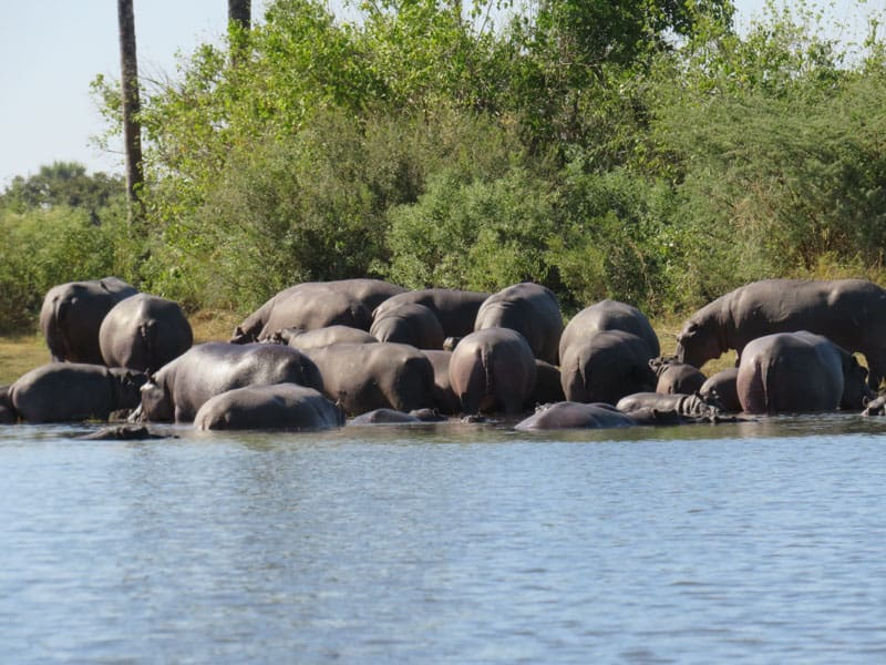 You will see a few Hippos in Okavango delta Botswana