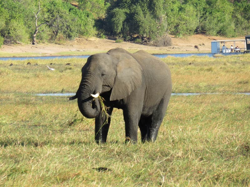 A elephant in Chobe National Park.