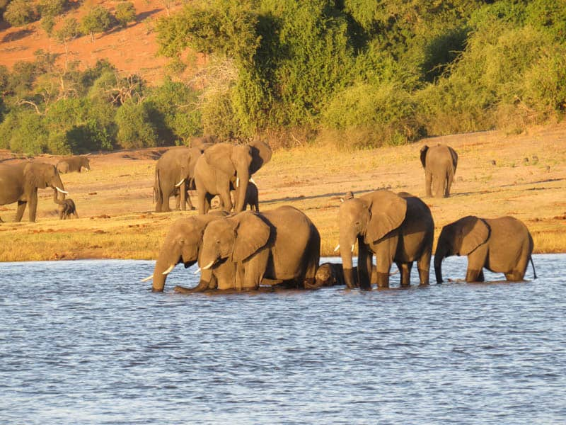 Elephants in botswana africa