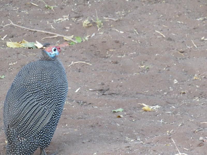 Botswana bird