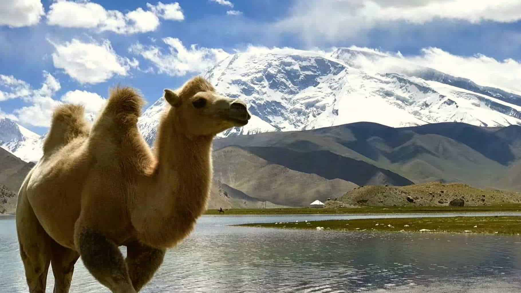 A Camel along the Karakoram highway in China close to Muztagh Ata peak close to Pakistan