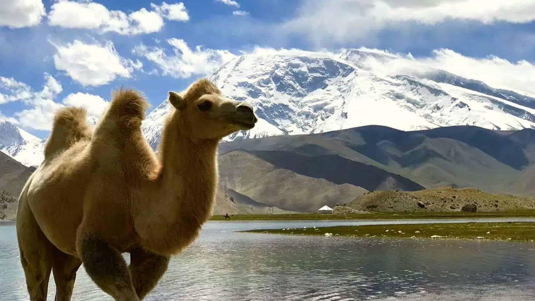 A Camel along the Karakoram highway in China close to Muztagh Ata peak close to Pakistan
