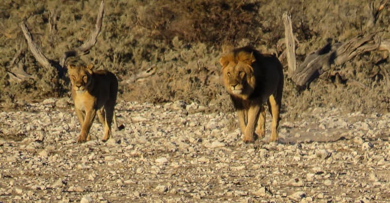 Two lions in Etosha national park.
