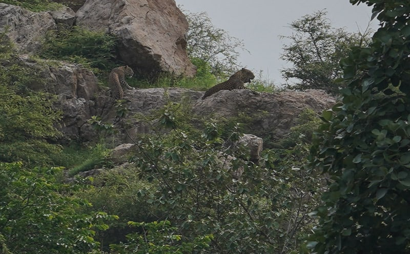 Two leopards in Ranthambore National Park