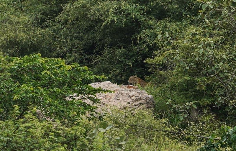Leopard india Rajashtan
