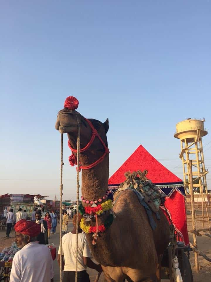 a decorated camel