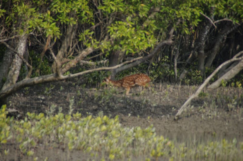 Chital deer in Sundarbans National Park in india