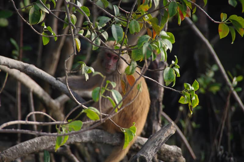 Sundarbans monkey