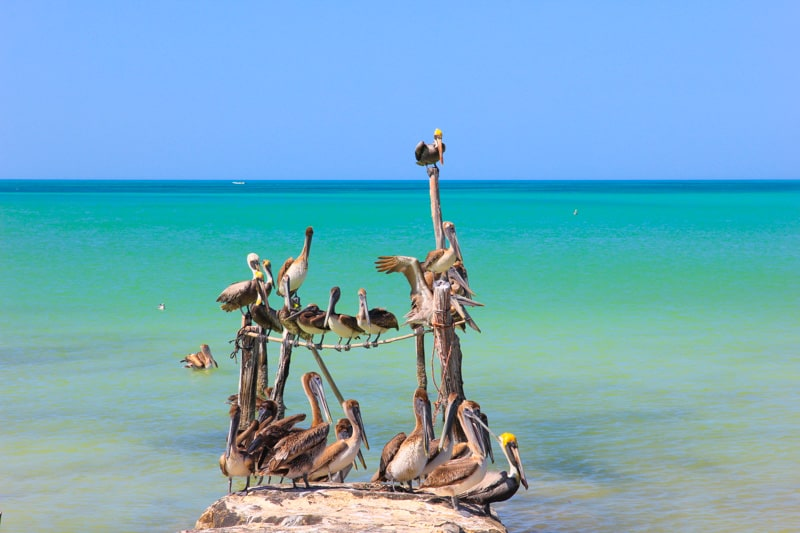 pelicans at Isla Holbox