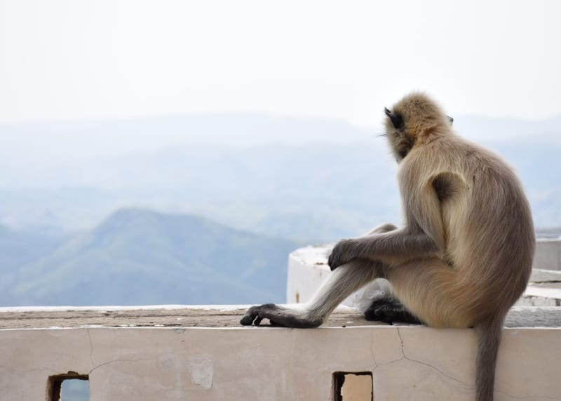 a monkey having a rest in Udaipur
