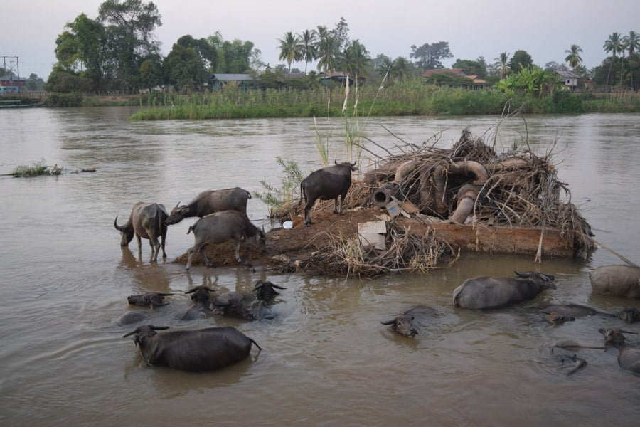 buffaloes bathing in the river after sunset in si phan don