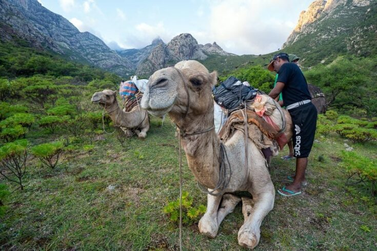 Getting the camel ready for a hike through the Hajhir Mountains Socotra