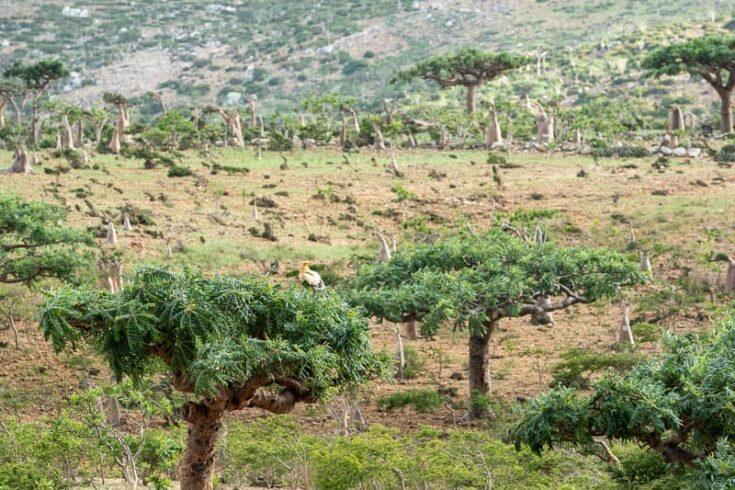 Socotra buzzard