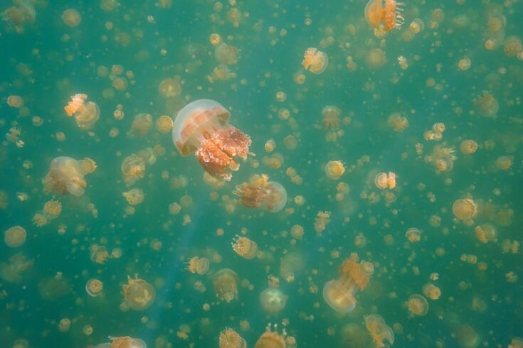 palau jellyfish lake