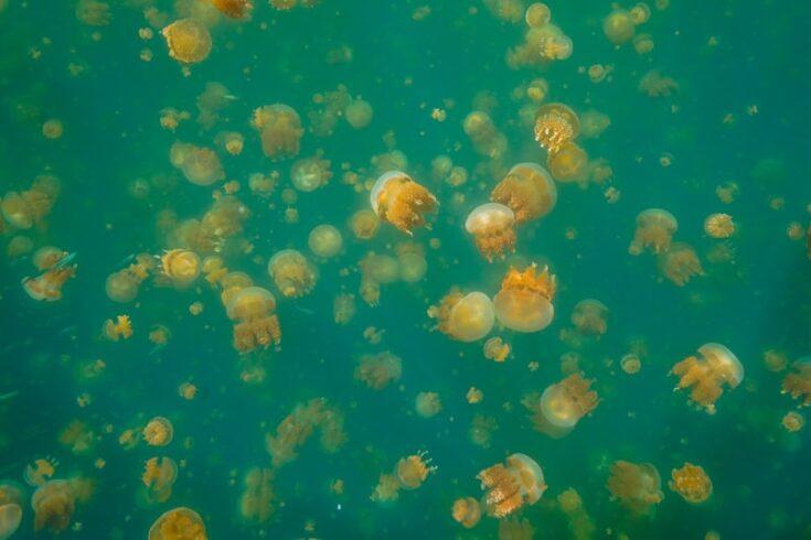 jellyfish lake palau