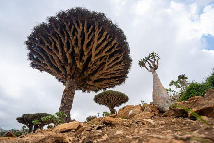 Dragon Blood Tree on socotra