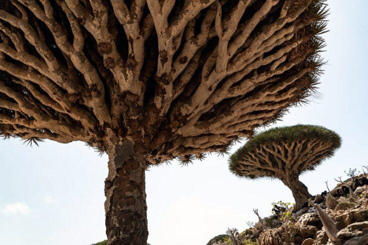 Dragon Blood Tree close up on Socotra Yemen