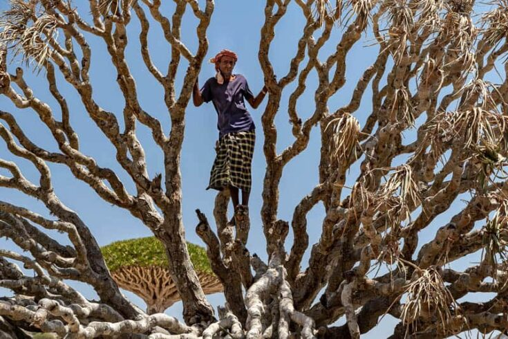 A Socotri Bedouin climbing a dragon blood tree in Diksam