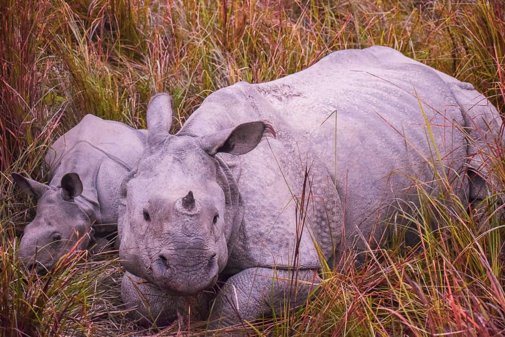 one horned Rhinos in india