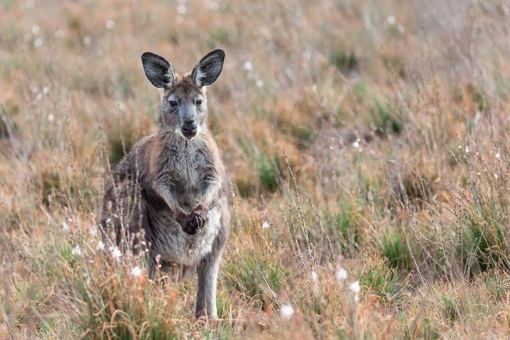 kangaroo in Flinders Ranges National Park Australia