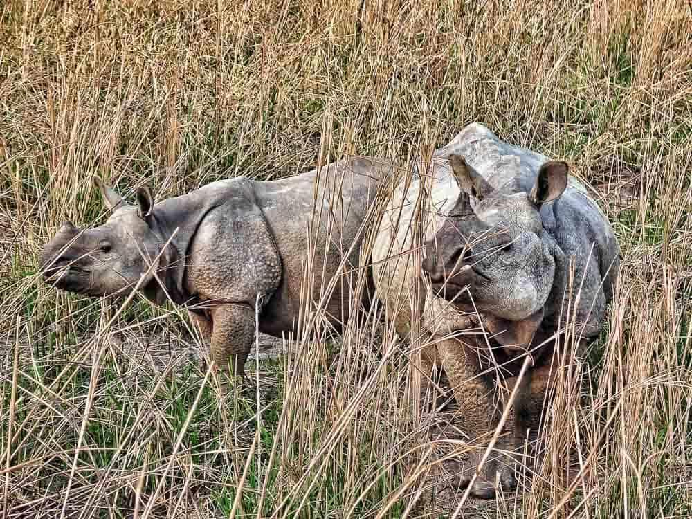One horned Rhinos in kaziranga national park in north east india