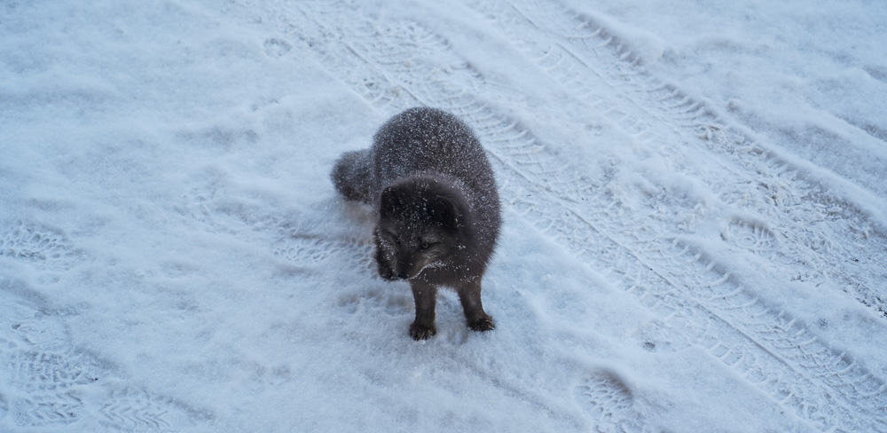 A cute littel artic fox on Svalbard