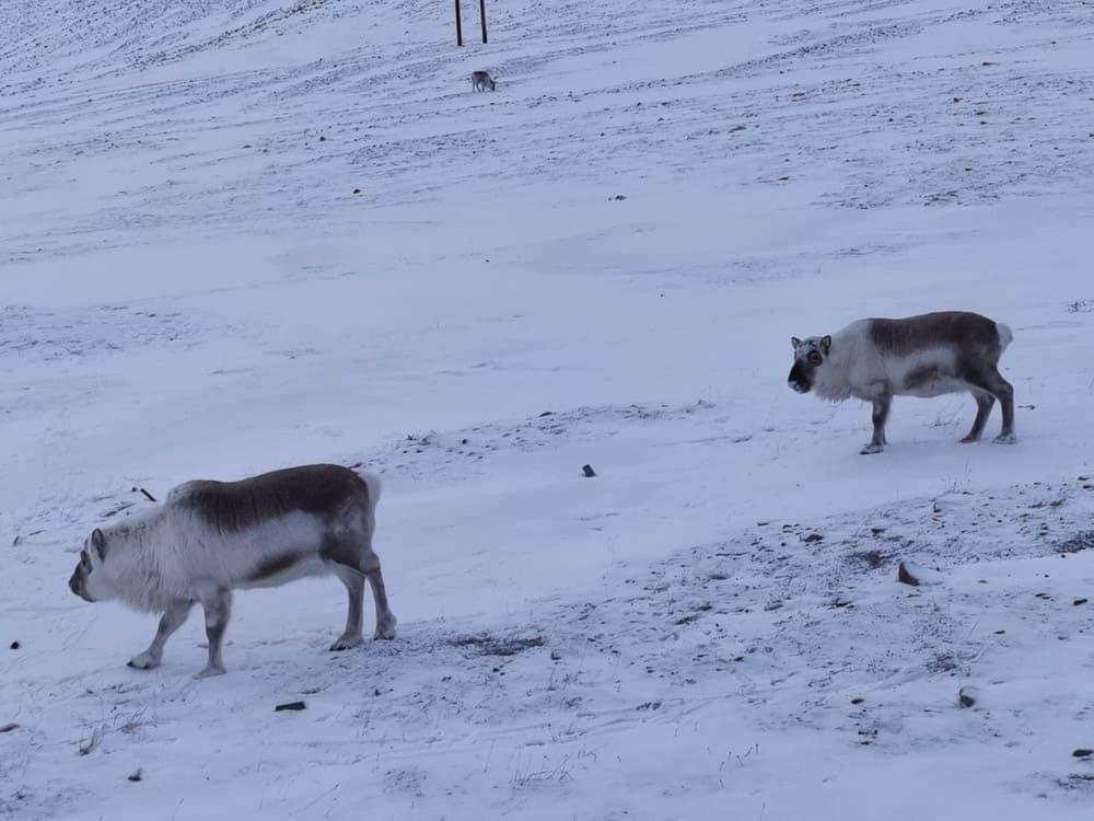 Reeindeers Svalbard
