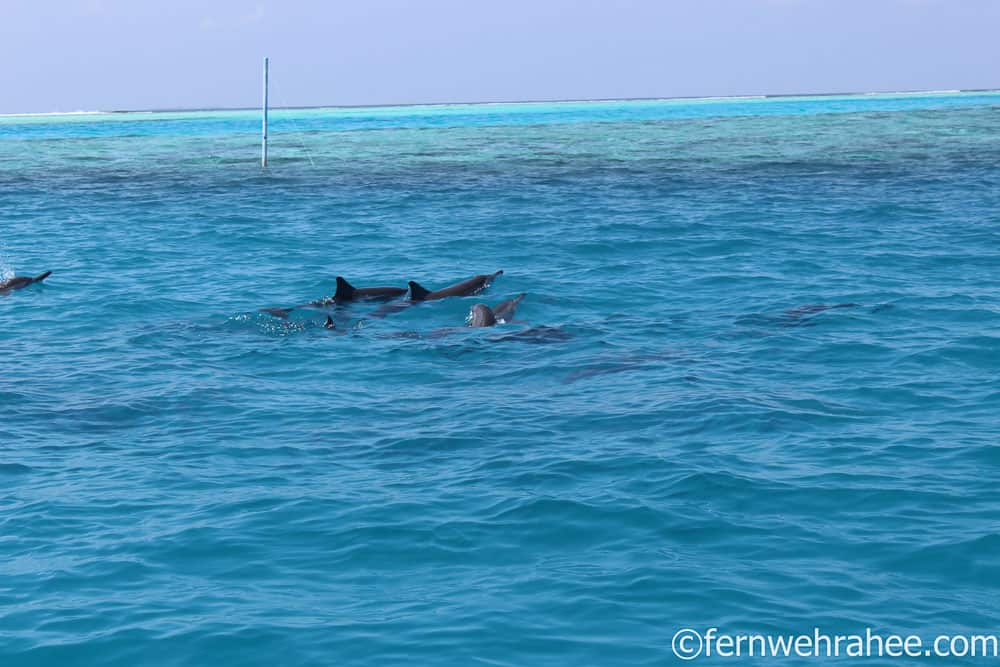 Dolphin watching Maldives