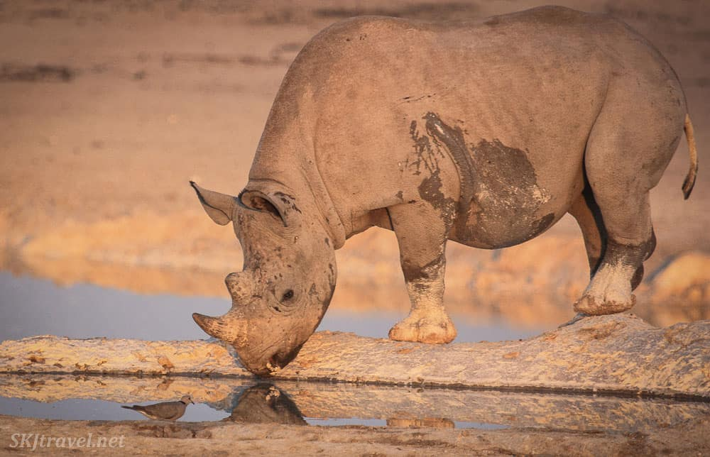 black rhinos in Etosha National Park in Namibia in africa