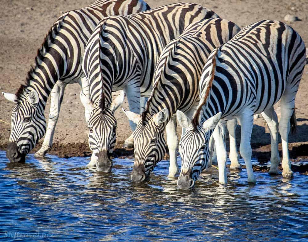 Zebras in Etosha National Park Namibia