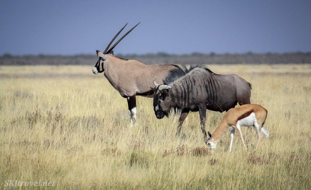 oryx (also called gemsbok), blue wildebeest and springbok below. Etosha