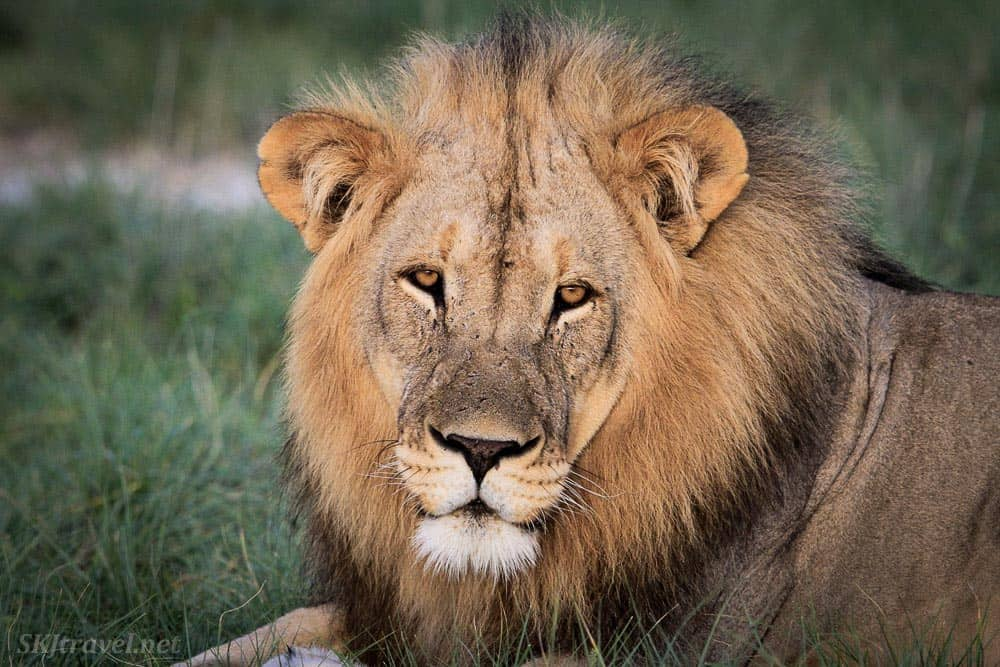 A Male Lion in Etosha National Park Namibia
